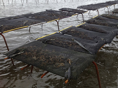 oyster cultivation